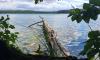 Stechlinsee mit umgestürzten Baum am Ufer