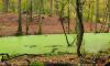 Entengrützen-grüne Briese durch Herbstlaub-bedeckten Wald